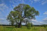 Вяз дерево как выглядит – фото дерева и листьев, описание мелколистного, шершавого, гладкого, перистоветвистого каргача, семена и плоды обыкновенного вяза