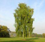 Место произрастания березы – места произрастания и ботаническое описание, лечебные свойства, применение в промышленных целях