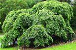 Он же вяз – Дерево вяз — где растет в России, фото и описание листьев, семян, видео