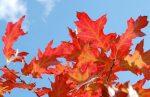 Дуб вид – Дерево дуб красный. Фото и описание. Посадка и уход. Американские красные дубы — Flowertimes.ru