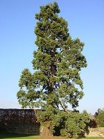 Какие деревья в россии растут – Категория:Деревья России — Википедия