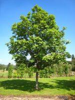 Ясень обыкновенный фото – Ясень — Википедия