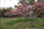 Китайские деревья – принципы формирования деревьев и кустарников